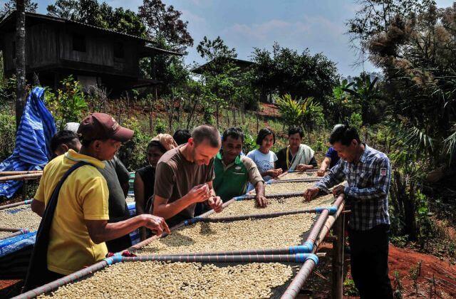 Kaffee-Ernte-Thailand
